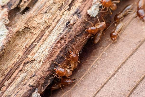 termites, capricornes, vrillette