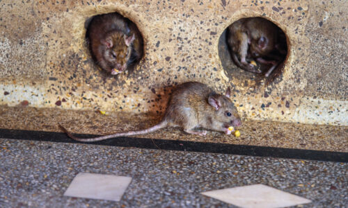 Dératisation rat