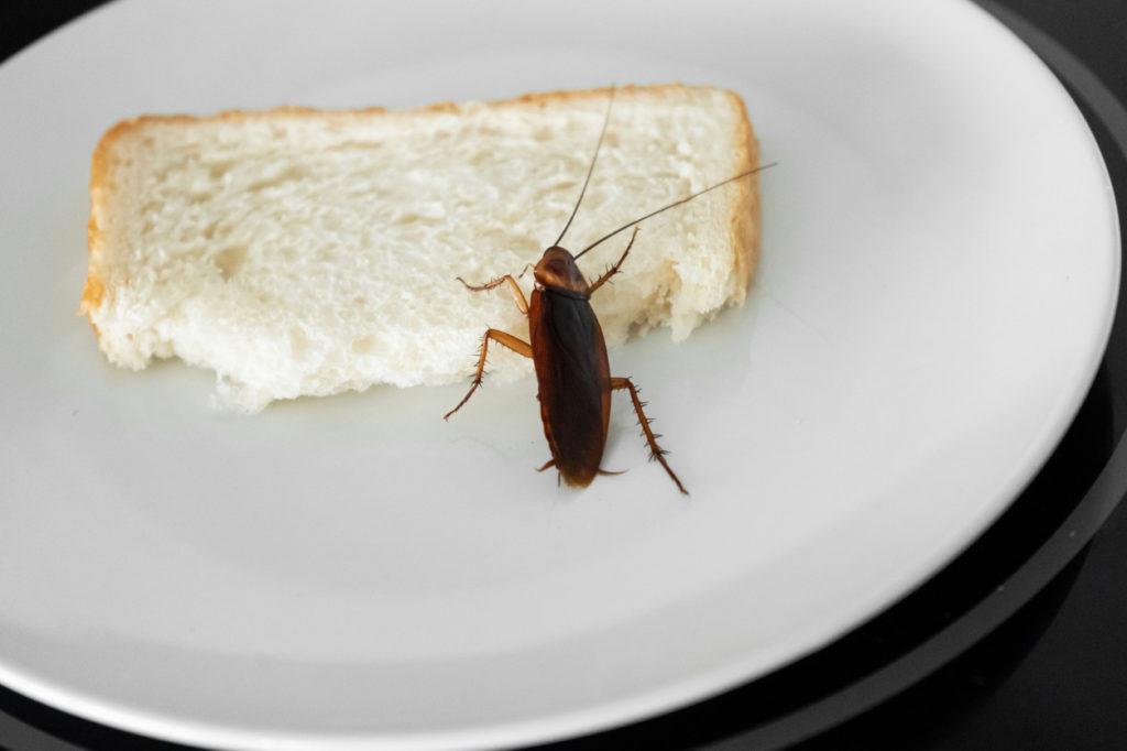 Désinsectisation cafards blattes