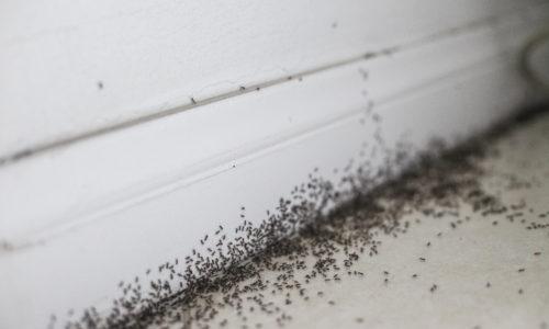 infestation fourmis