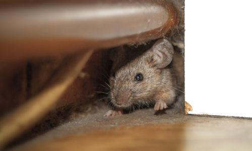 Dératisation souris