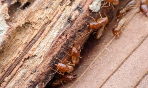 insectes à larves xylophages capricorne, vrillettes